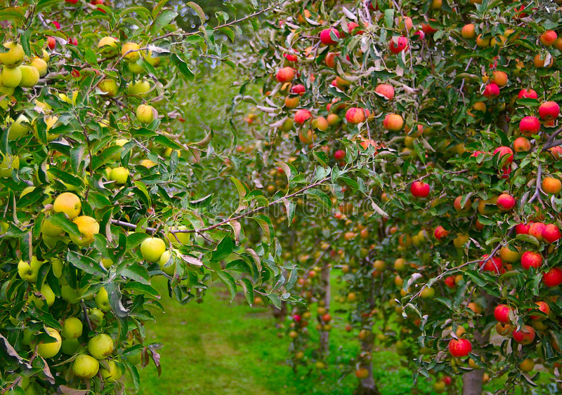 Apple-Obstgarten stockbild