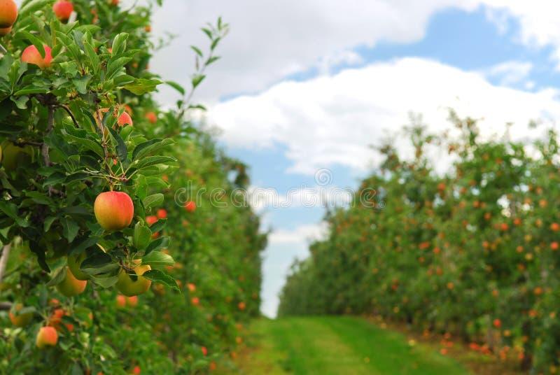 Apple-Obstgarten stockbild