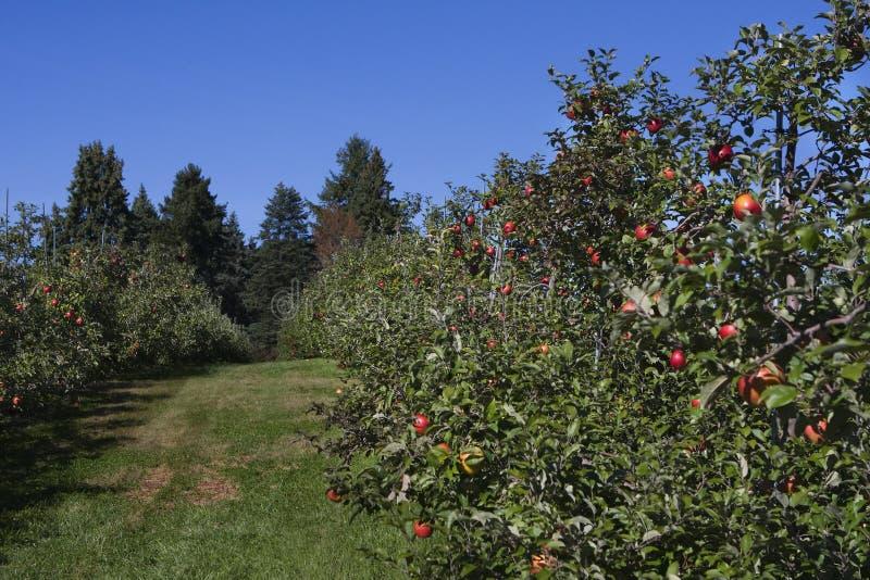 Apple-Obstgartenfeld voll der Äpfel stockfoto