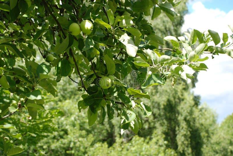 Apple och gröna äpplen i en härlig trädgård på en varm sommardag arkivbild