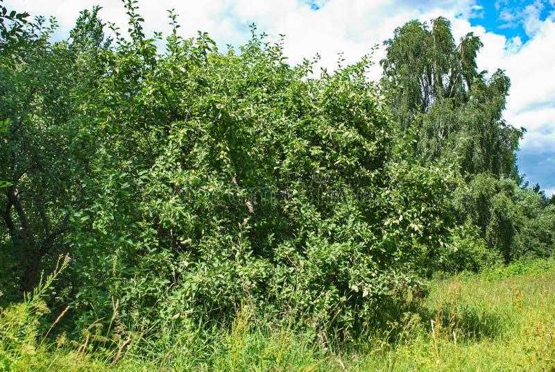 Apple och gröna äpplen i en härlig trädgård på en varm sommardag arkivfoton