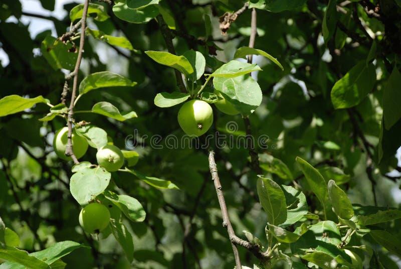 Apple och gröna äpplen i en härlig trädgård på en varm sommardag royaltyfri fotografi