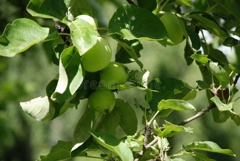 Apple och gröna äpplen i en härlig trädgård på en varm sommardag arkivfoto