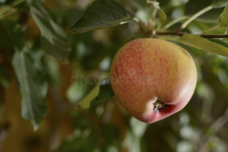 Apple op de Boom royalty-vrije stock fotografie