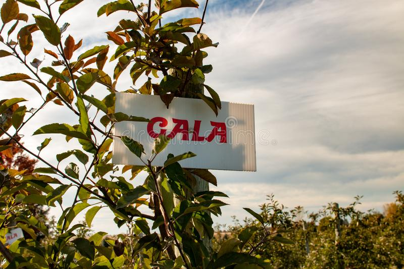Apple Orchard Äpfel der Gala, die auf Obstgarten wachsen lizenzfreie stockbilder
