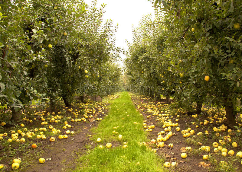Download Apple Orchard Royalty Free Stock Photography - Image: 22078887