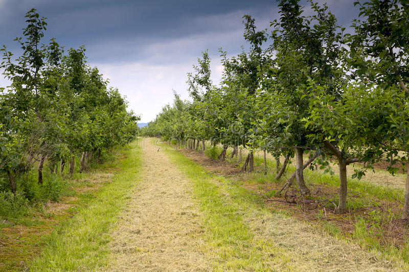 Apple orchard. Young apple orchard in a rainy day, Saarland / Germany royalty free stock photo