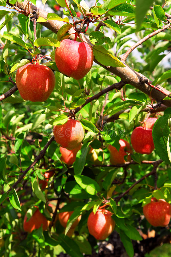 Free Apple Orchard Stock Images - 3611814