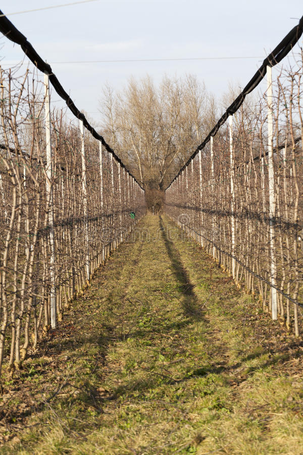 Free Apple Orchard Royalty Free Stock Photo - 66913975