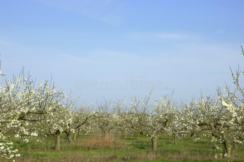 Apple orchard stock photo