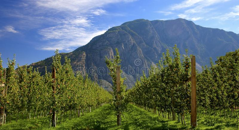 Apple Orchard in the afternoon sun stock image