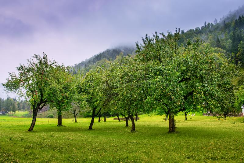 Apple orchard in autumn, mountains in background royalty free stock photo