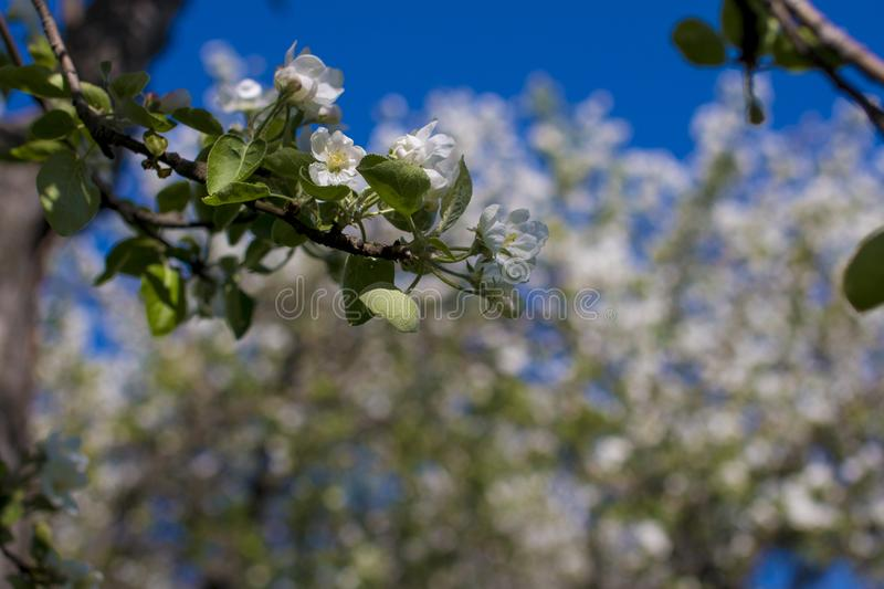 Apple orchard with blossoming flowers. White gardens stock photos