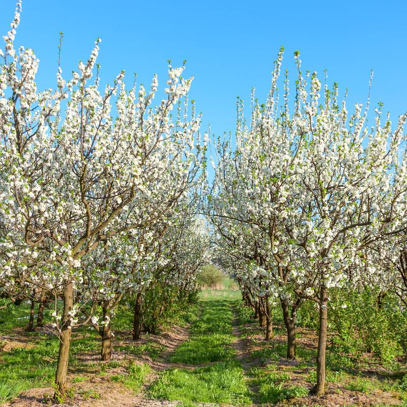 Apple orchard. Blossoming apple trees.  royalty free stock image
