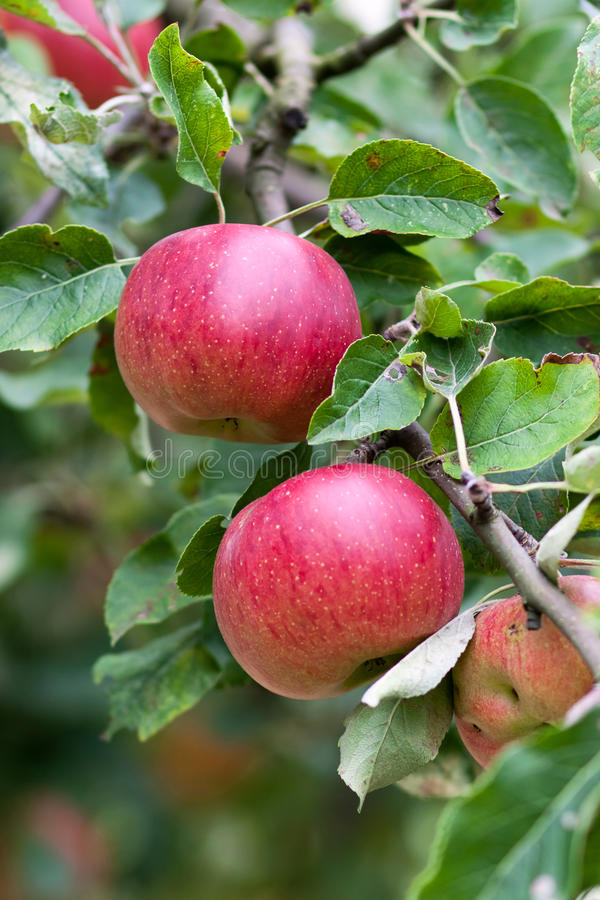 Download Apple Orchard Branch With Fruits Stock Image - Image: 17083429