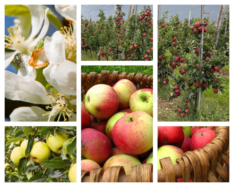 Apple orchard collage royalty free stock image