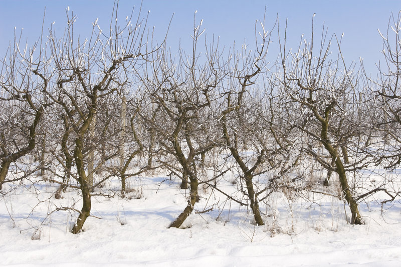 Download Apple Orchard Covered In Snow Stock Photo - Image: 7298900