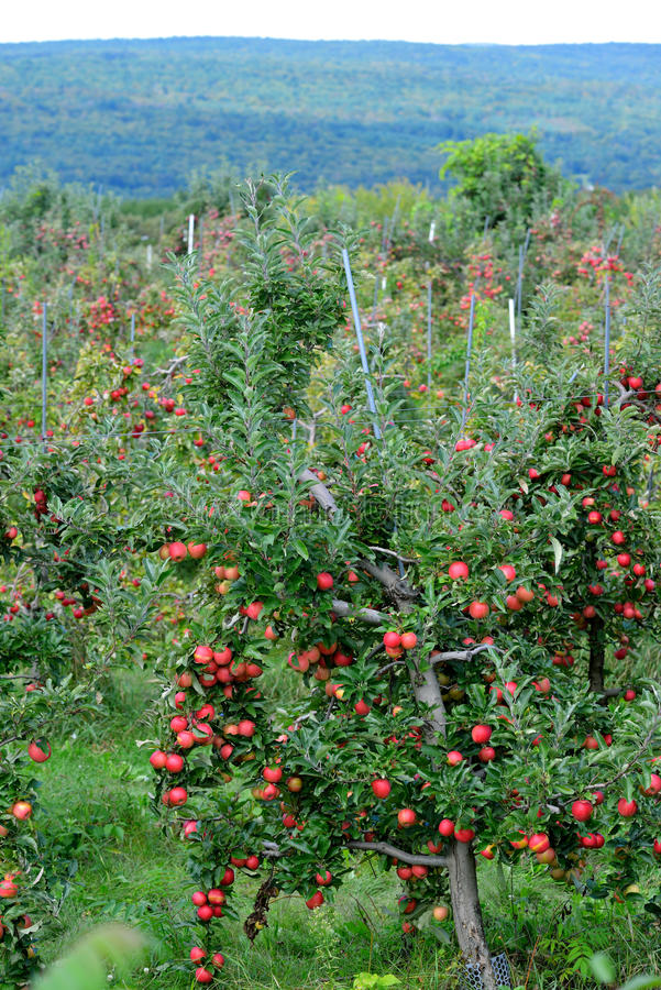 Apple Orchard and Green Mountains royalty free stock photography