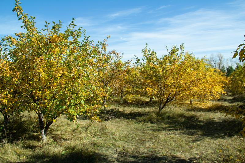 Apple orchard in October royalty free stock images