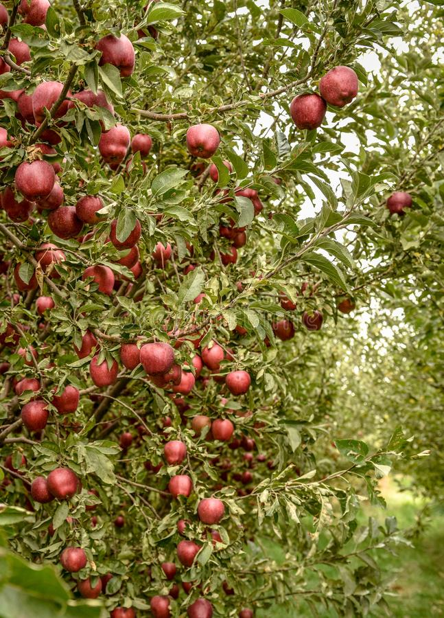 apple orchard.Organic red ripe apples. royalty free stock photography