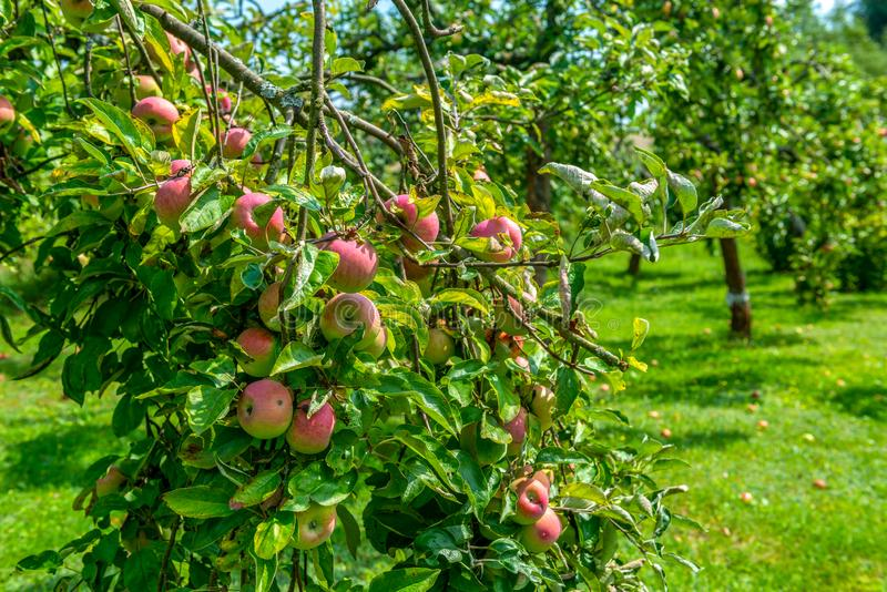 Apple orchard. Ripe juicy red apples ready to picking royalty free stock images