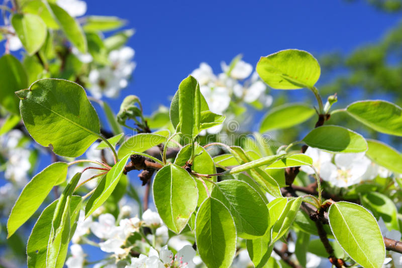 Apple orchard, springtime royalty free stock image
