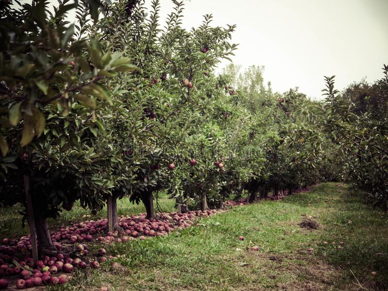 Fall at the orchards. Apple orchards in the fall showing apples covering the ground. apple picking is a great family activity stock images