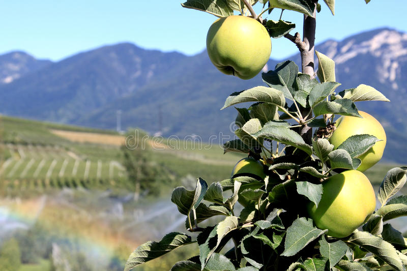 Apple orchards in the Italian Dolomites. During a hot, dry summer in the mountains of Dolomites in the north of Italy a farmer is irrigating the apple orchard stock images