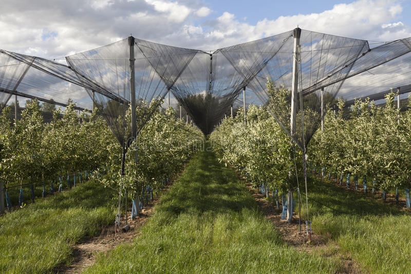 Download Apple orchards lendscape stock photo. Image of netting - 31597000