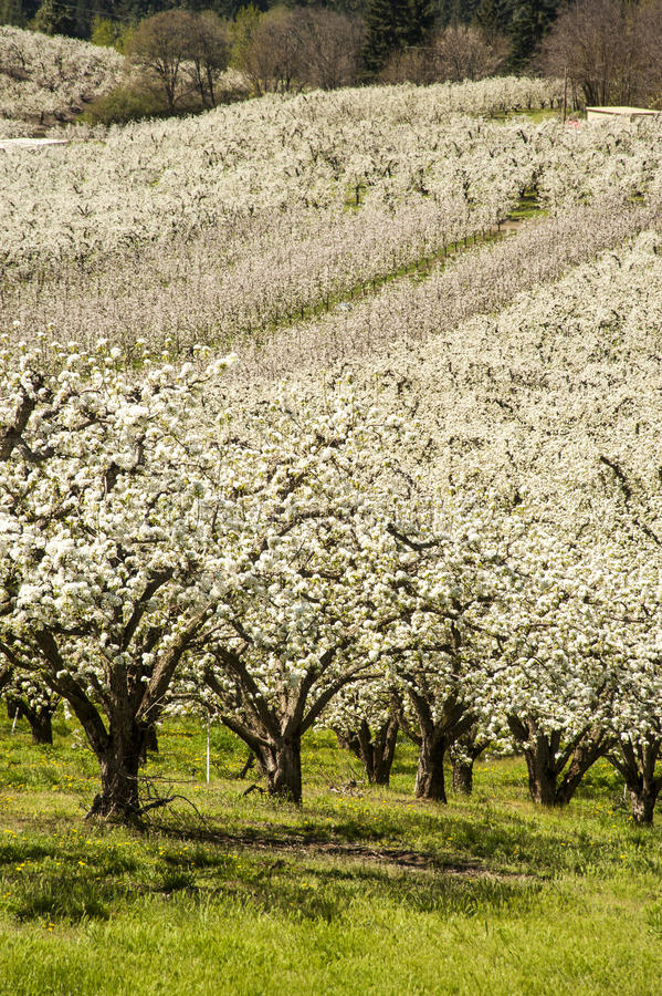 Download Apple orchards in spring stock image. Image of blossom - 29606225