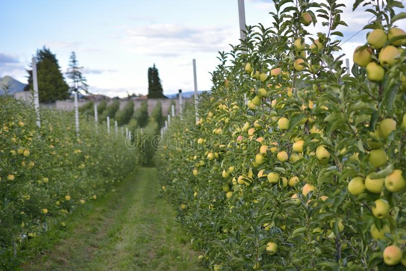 Apple orchards in Tuenno. Italy country stock photography