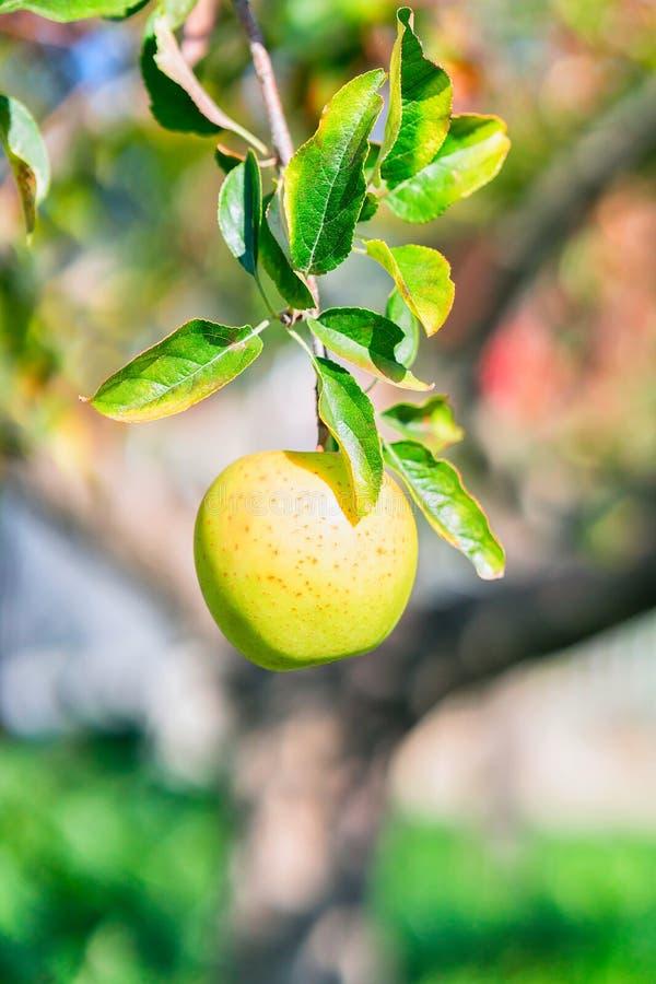 Apple på apppleträd i trädgård i Agerola arkivbild