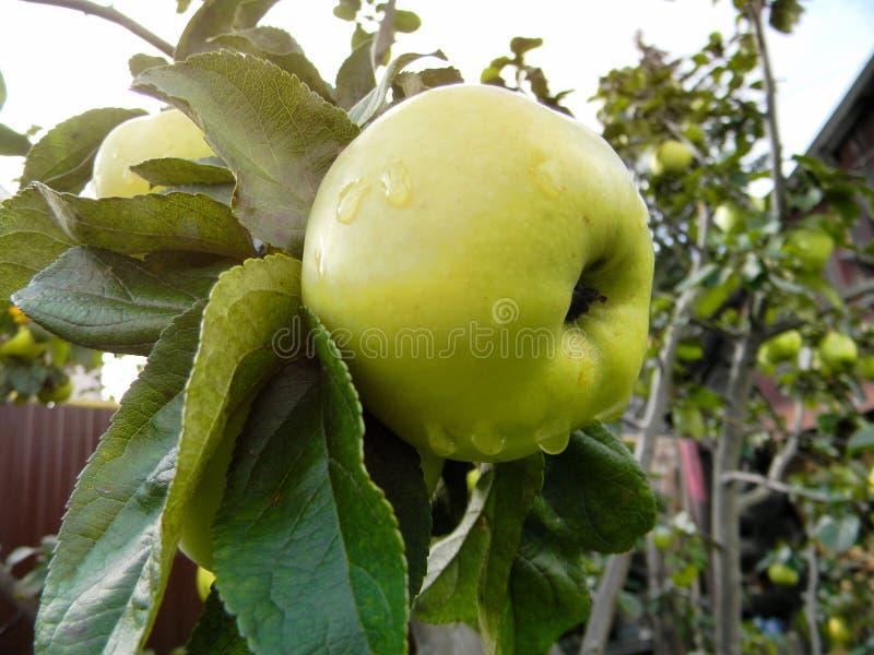 Apple på en gren efter regnet royaltyfri foto