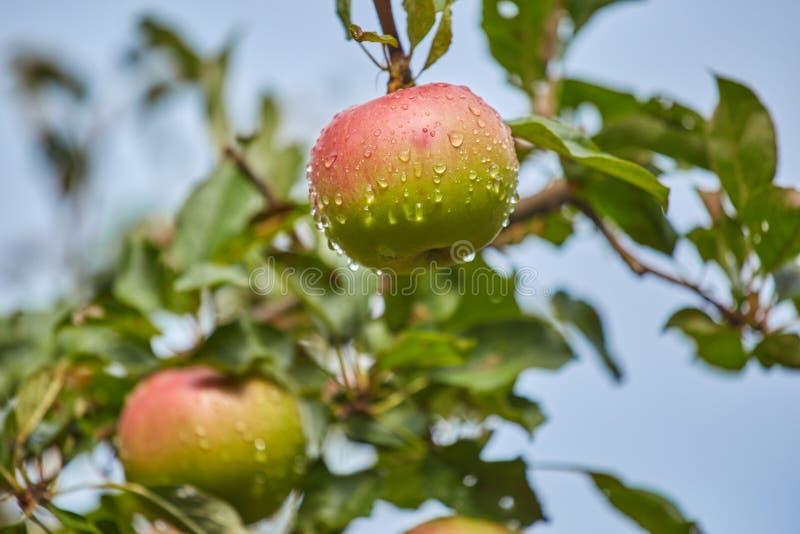 Apple på ett träd efter regn arkivfoton