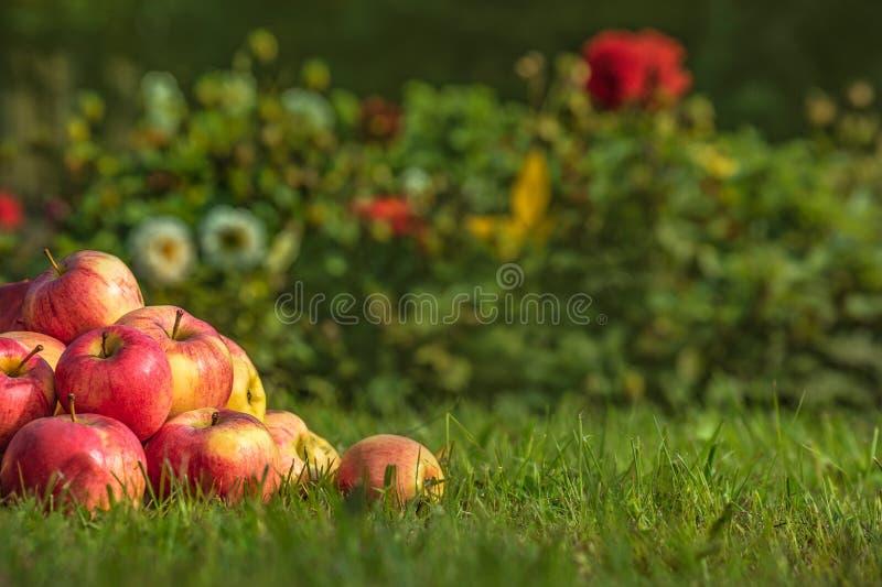 Apple p? gr?nt gr?s arkivfoto