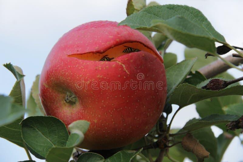 Apple partido en una rama con las chaquetas amarillas foto de archivo
