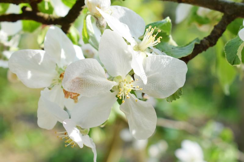Apple or pear blossoms. White flowers of tree in the early spring. Background branch nature beautiful petal floral blooming garden plant season summer beauty stock images