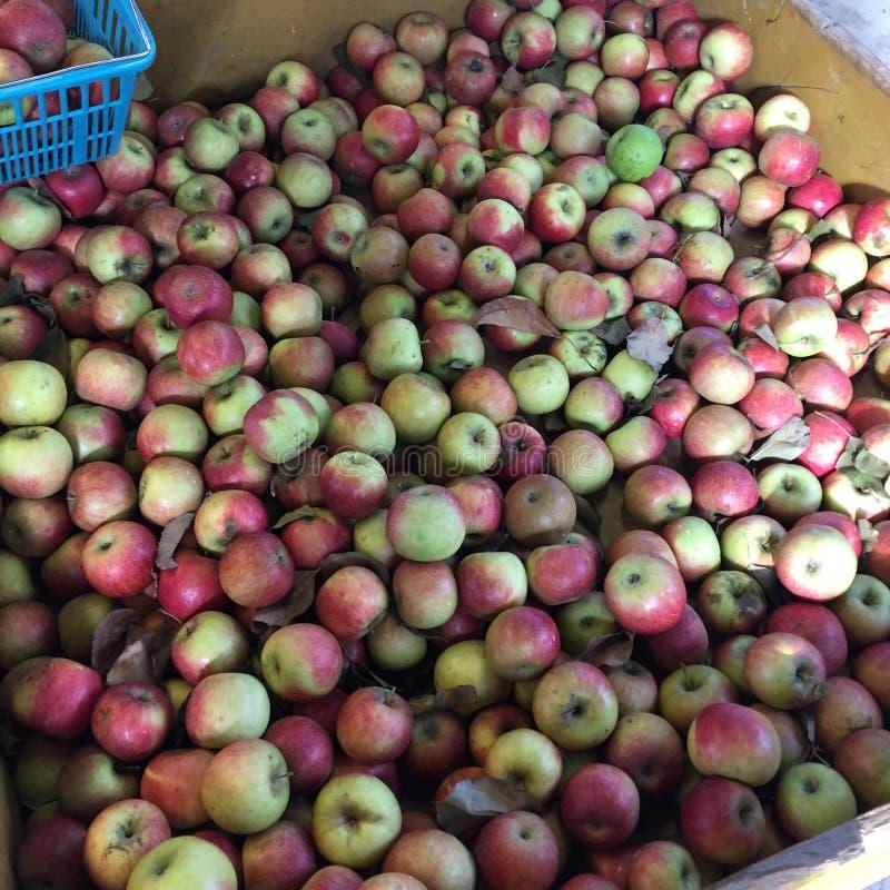 Apple pegara a exploração agrícola fotografia de stock royalty free