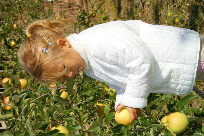 Download Apple Picking stock photo. Image of food, farm, fruit - 15547298
