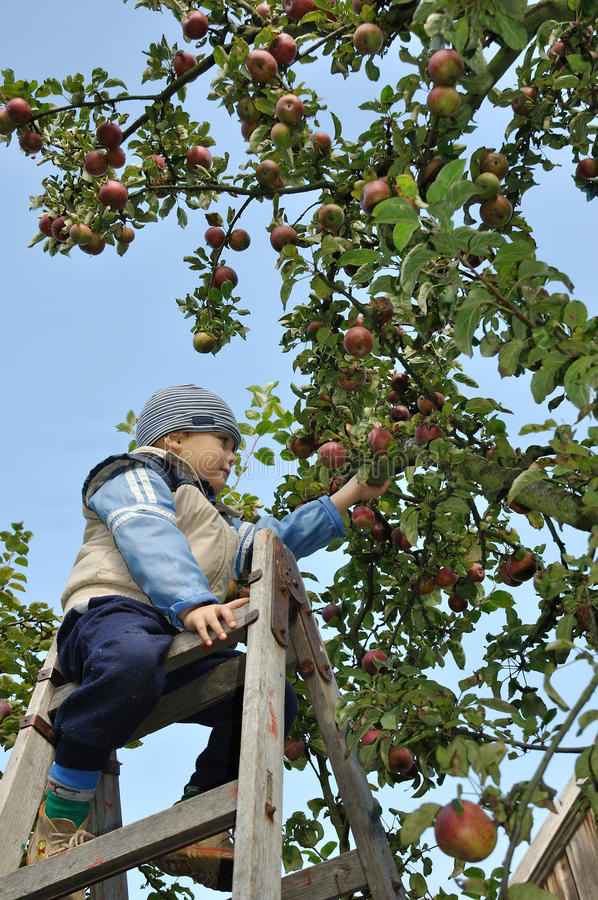Download Apple picking stock image. Image of child, apples, gardener - 16339555