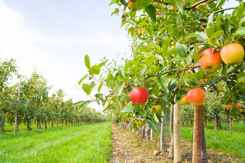 Apple plantation royalty free stock photo