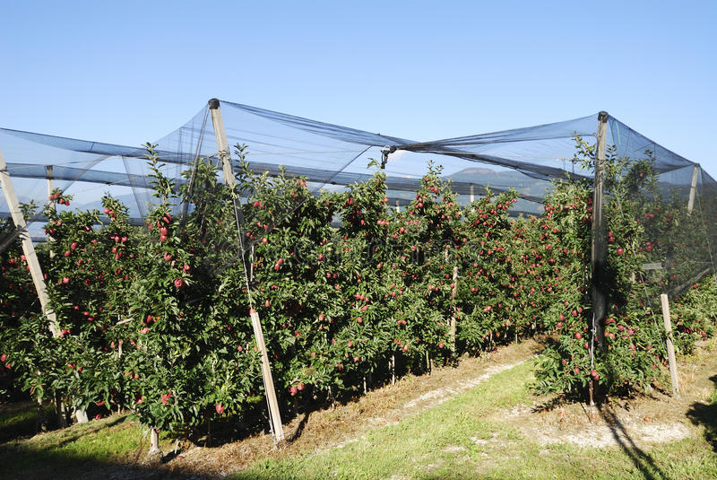 Apple Plantation Stock Photo
