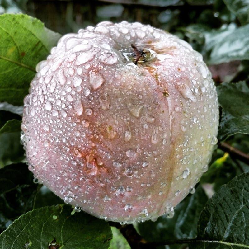 Apple po deszczu obrazy royalty free