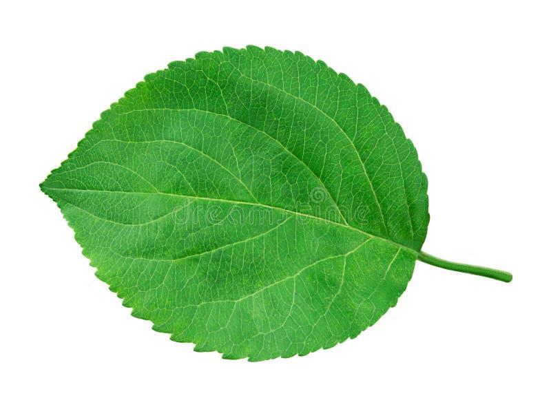Apple poussent des feuilles d'isolement sur le blanc photographie stock