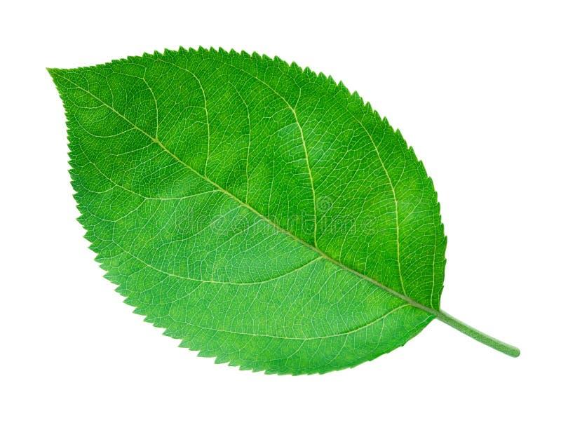 Apple poussent des feuilles d'isolement sur le blanc image stock
