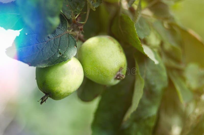 Apple que cresce na árvore no jardim Maçãs em um ramo fotos de stock