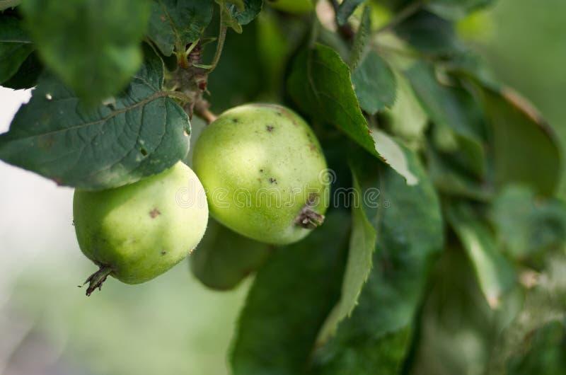 Apple que cresce na árvore no jardim Maçãs em um ramo fotos de stock royalty free