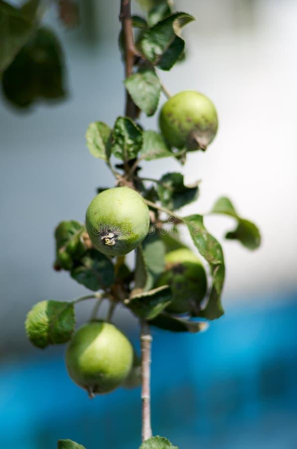 Apple que cresce na árvore no jardim Maçãs em um ramo foto de stock
