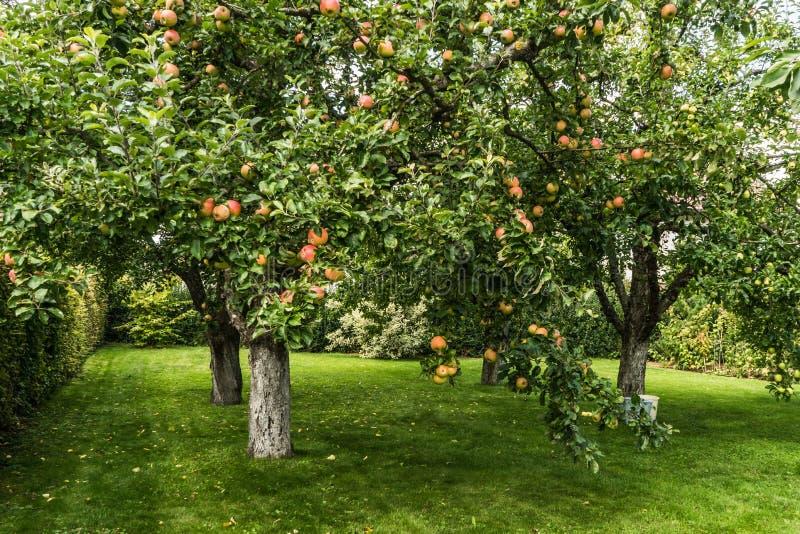 Apple rojo fresco en árbol imágenes de archivo libres de regalías