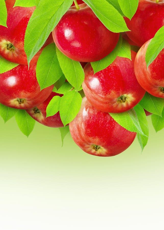 Apple rojo para el diseño de paquete Fruta roja madura de muchas manzanas que cuelga en una rama con las hojas en un fondo verde fotos de archivo libres de regalías